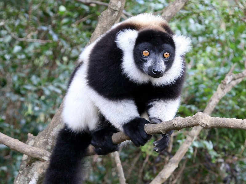 Afbeelding van Andasibe Black And White Ruffed Lemur