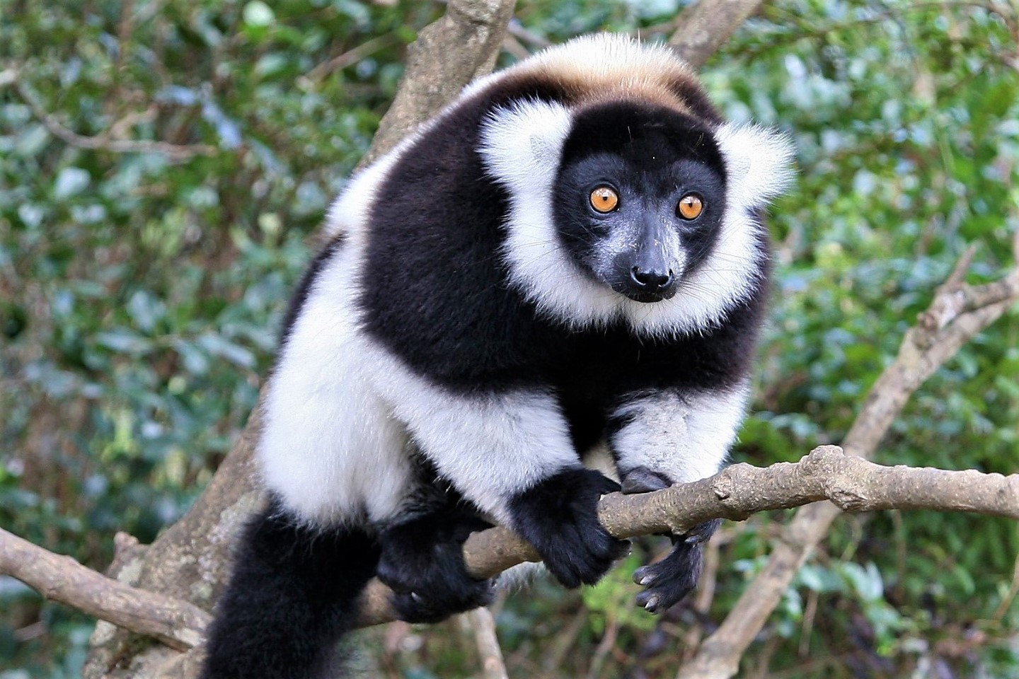 Afbeelding van Andasibe Black And White Ruffed Lemur Madagascar Land Of Wonders