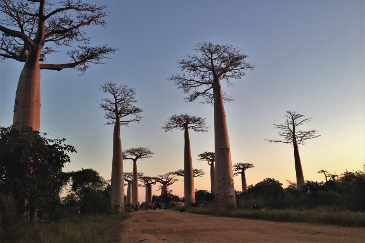 Rondreis West-Madagaskar - Kirindy en Baobab Valley